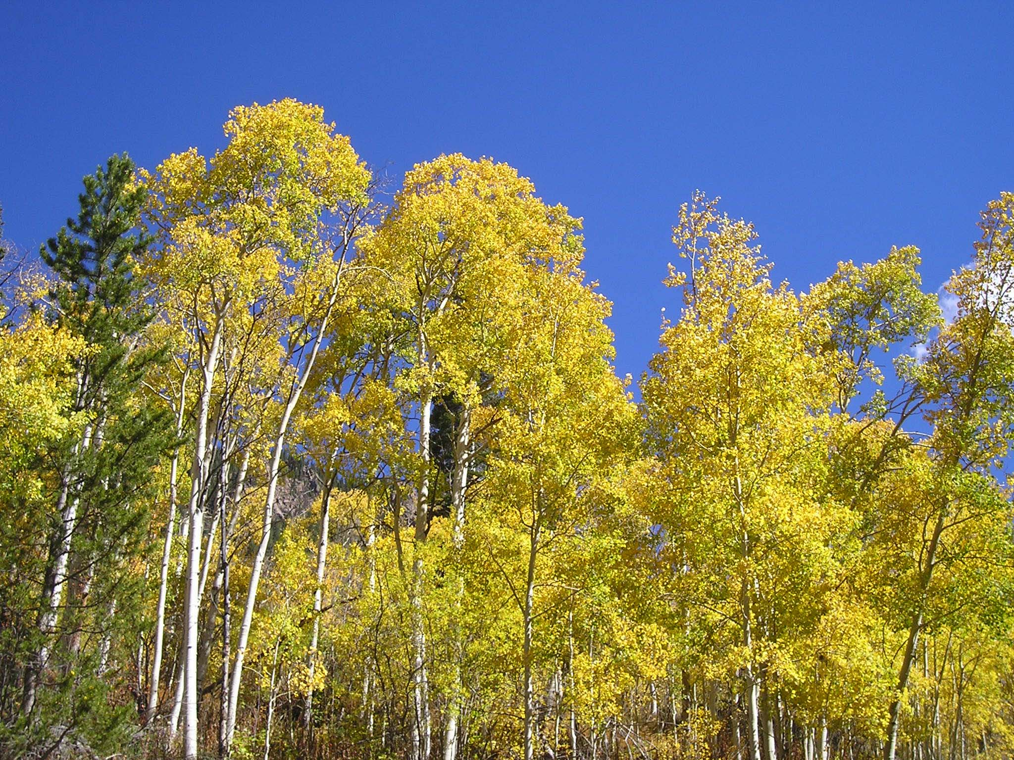 Blue Sky and Golden Aspen - The Eagle River Preserve, Edwards, Colorado