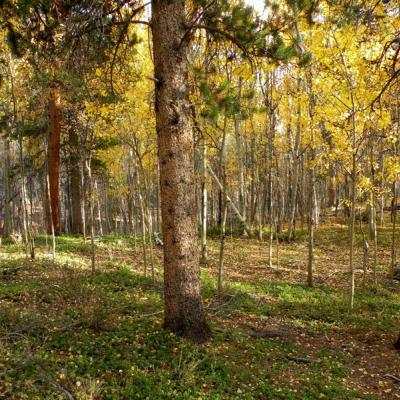 Stunning lot with lots of aspens and pines
